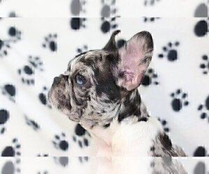 French Bulldog Dog for Adoption in CENTURY CITY, California USA