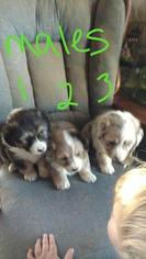 Australian Shepherd-Pembroke Welsh Corgi Mix Puppy For Sale in RUSHVILLE, IN