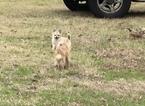 Small #15 Chihuahua