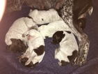 German Shorthaired Pointer Puppy For Sale in BROWNSTOWN, MI, USA