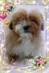 Bichon Frise Puppy for sale in DOUGLAS, GA, USA
