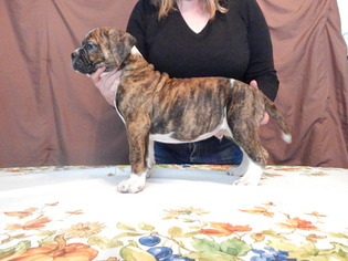 Alapaha Blue Blood Bulldog Puppy For Sale in WELLINGTON, OH, USA