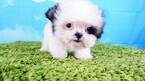 Shih Tzu Puppy For Sale near 89113, Las Vegas, NV, USA