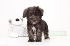 Schnoodle (Miniature) Puppy For Sale in NAPLES, FL, USA