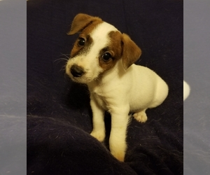Jack Russell Terrier Dog for Adoption in MANSFIELD, Texas USA