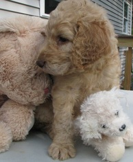Beautiful Goldendoodles  Non shedding F1B