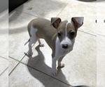 Small #1 Italian Greyhound