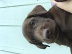 Labrador Retriever Puppy For Sale in LITITZ, PA