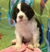 English Springer Spaniel Puppy For Sale in KERRVILLE, TX, USA
