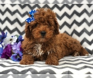 Poodle (Toy) Puppy for Sale in EAST EARL, Pennsylvania USA