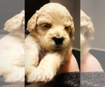 Labradoodle Puppy For Sale in SUTHERLIN, OR, USA