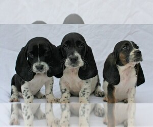 Basset Hound Puppy for sale in LAKESIDE, CA, USA