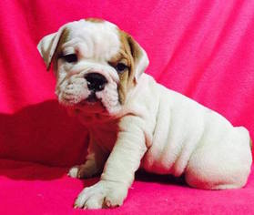 Bulldog Puppy For Sale in SUMMERVILLE, SC