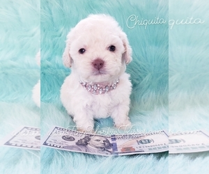 Poodle (Standard) Puppy for sale in FAIRFIELD, CA, USA