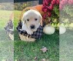 Puppy 4 Golden Labrador