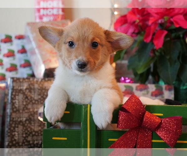 Medium Photo #4 Pembroke Welsh Corgi Puppy For Sale in SPRINGFIELD, MO, USA