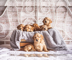 Goldendoodle Puppy For Sale in WOODRUFF, SC, USA