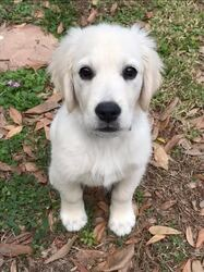 Golden Retriever Puppy for sale in ODESSA, FL, USA