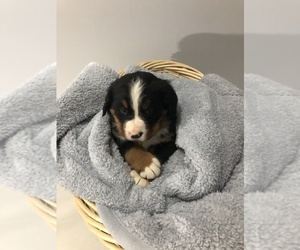 Bernese Mountain Dog Puppy for sale in SHIPSHEWANA, IN, USA