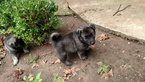 Norwegian Elkhound Puppy For Sale in OKLAHOMA CITY, OK, USA