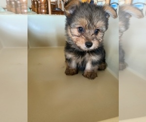 Yoranian Puppy for sale in CHINO HILLS, CA, USA