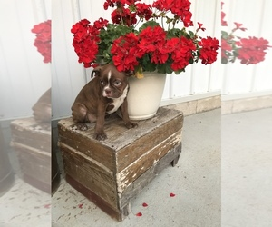 Boston Terrier Dog for Adoption in COAL CITY, Indiana USA