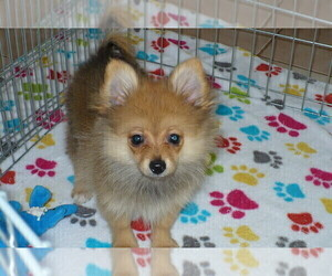 Pomeranian Puppy for Sale in ORO VALLEY, Arizona USA