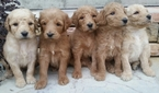 Goldendoodle Puppy For Sale in FYFFE, AL