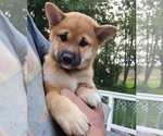 Puppy 1 Shiba Inu