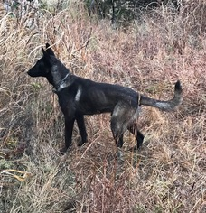 Belgian Malinois Puppy For Sale near 67005, Arkansas City, KS, USA