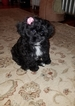 Lhasa-Poo Puppy For Sale in NEW BRITAIN, CT