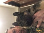 German Shepherd Dog Puppy For Sale in CYGNET, OH, USA