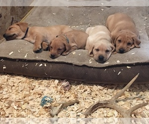 Labrador Retriever Puppy for sale in MUSKEGON, MI, USA