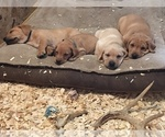 Labrador Retriever Puppy For Sale in MUSKEGON, MI, USA