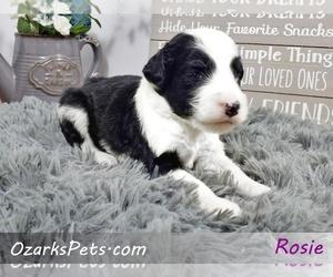 Sheepadoodle Puppy for sale in CEDAR GAP, MO, USA