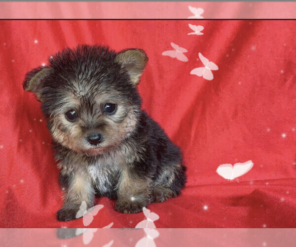 Medium Photo #1 Maltese-Morkie Mix Puppy For Sale in SAN FRANCISCO, CA, USA