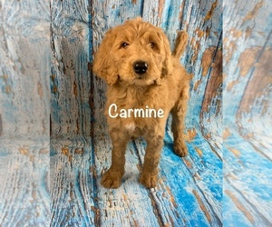 Labradoodle Dog for Adoption in SHELL KNOB, Missouri USA