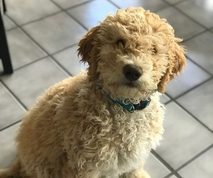 Australian Labradoodle Puppy for sale in KLAMATH FALLS, OR, USA
