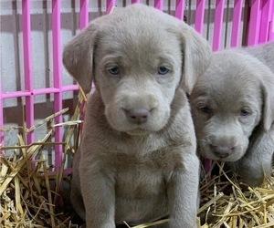 Labrador Retriever Puppy for Sale in MARCUS, Iowa USA