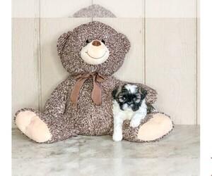 Shih Tzu Dog for Adoption in CLEVELAND, North Carolina USA