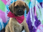 Puggle Puppy For Sale in QUARRYVILLE, PA,