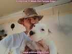 Small Photo #130 Dogo Argentino Puppy For Sale in PINEVILLE, MO, USA