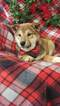 Shiba Inu Puppy For Sale in BUCK, PA, USA
