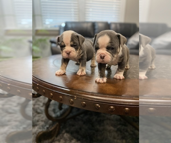 Medium Photo #2 American Bully Puppy For Sale in CORLISS, PA, USA
