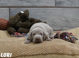 Weimaraner Puppy For Sale in OGDEN, UT, USA