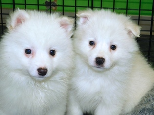 American Eskimo Dog Puppy For Sale in HAMMOND, IN, USA