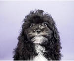 Puppy 1 Shih-Poo