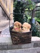 Poodle (Toy) Puppy For Sale in MODESTO, CA, USA