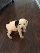American Bulldog Puppy For Sale in FAYETTEVILLE, NC