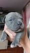 American Pit Bull Terrier Puppy For Sale in FOUNTAIN, Colorado,